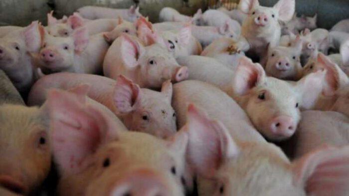 Triquinosis: decomisan carne de cerdo por presencia de triquinosis